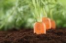 Healthy eating carrots in vegetable garden