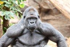 11841107-gorilla-zilverrug-gorilla-kijken-naar-de-camera